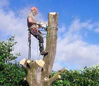 валка деревьев в ленобласти