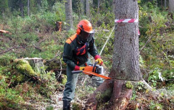 Валка деревьев с спб целиком с использованием валочной лопатки