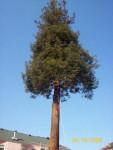 Дерево до обрезки